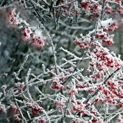 Červené zmrzlé bobule- digitální tisk