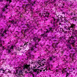 Šeříky růžové-sublimační digitální tisk | DOLOMITY, Funkční úplet TORINO 140 gsm, GARZATO 200gsm- funkční úplet počesaný, Kočárkovina , LYCRA 200, Micropeach, Softshell jarní 285 gsm, Softshell letní pružný 220gsm, Softshell zimní 320 gsm, SILKY